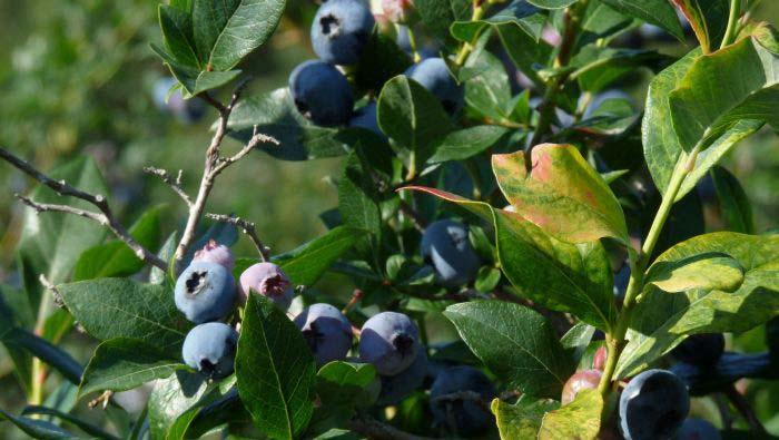 http://www.vanramblings.com/uploads/blueberry-bushes%2C-closer.jpg